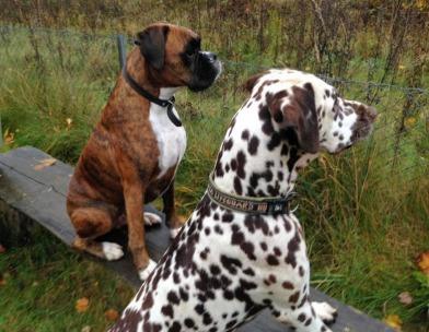 Dalmatiner og Boxer